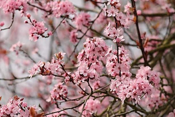 Do Almonds Grow on a Tree or Bush