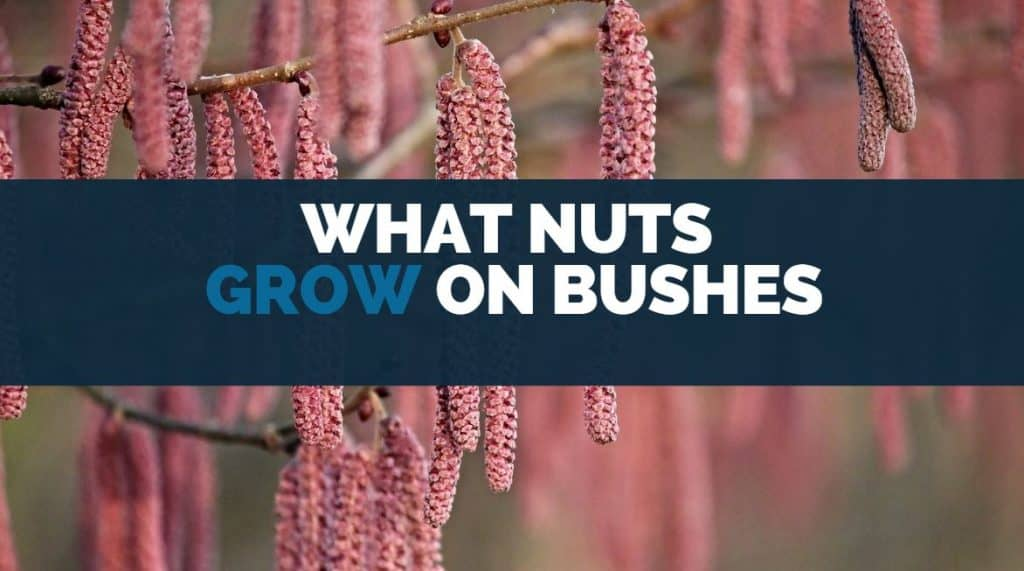 what nuts grow on bushes