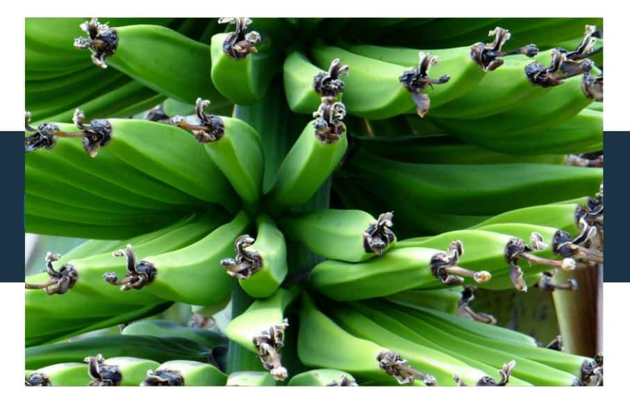 Can You Grow Bananas from Developed Seeds