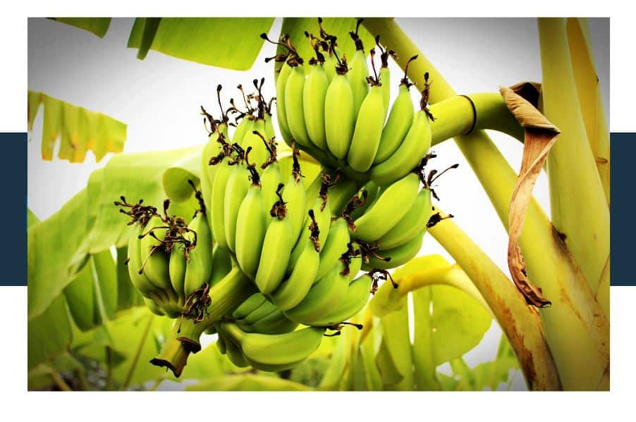 Why do Bananas have Undeveloped Seeds