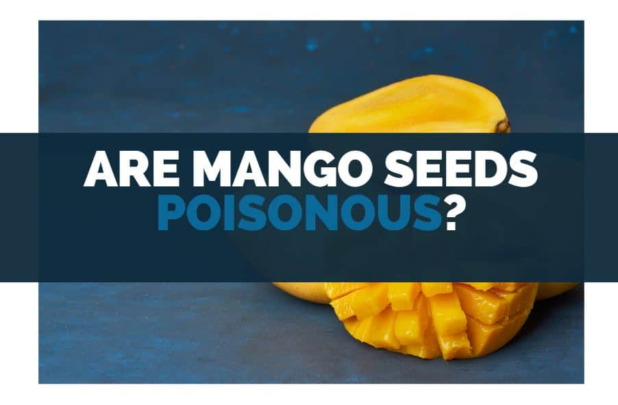 are mango seeds poisonous