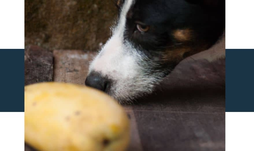 can mango seeds poison your dog