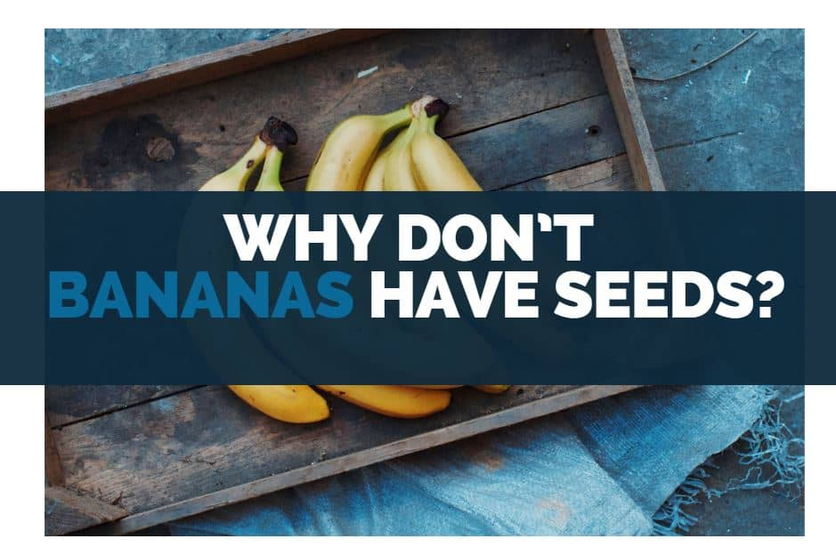 why dont bananas have seeds