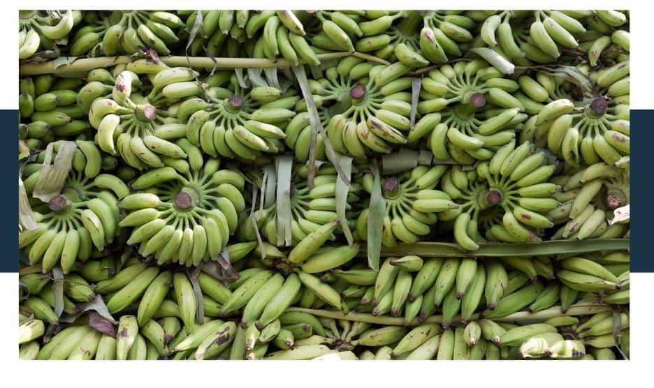 Are bananas genetically modified