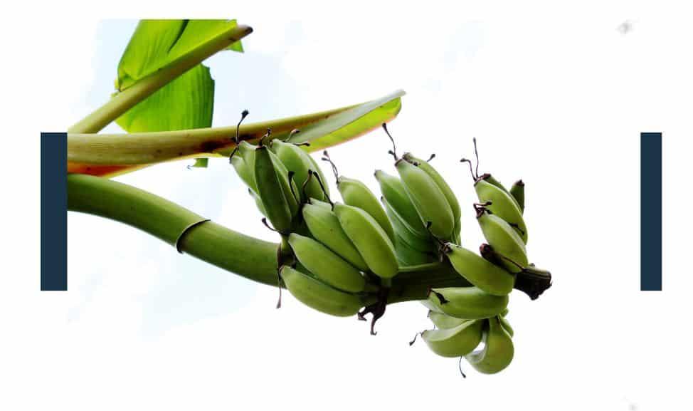 How Are Non-Organic Bananas Grown