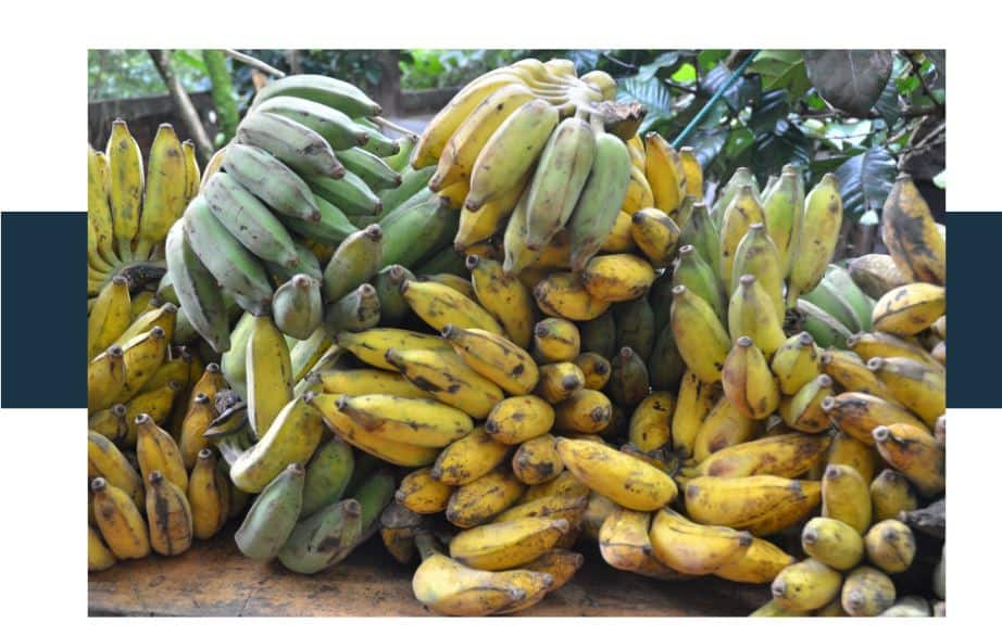 Overripe Brown Bananas versus Unripe Green Bananas