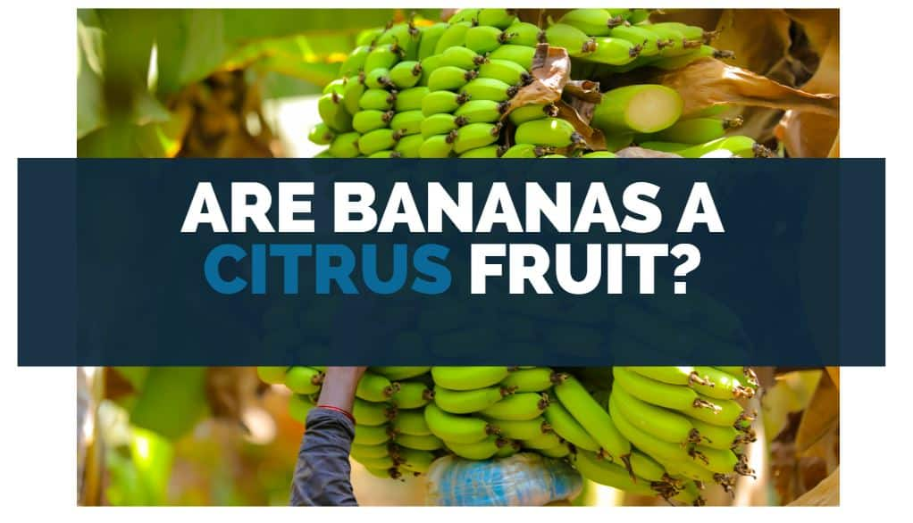 are bananas a citrus fruit