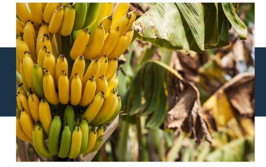 banana scientific classification