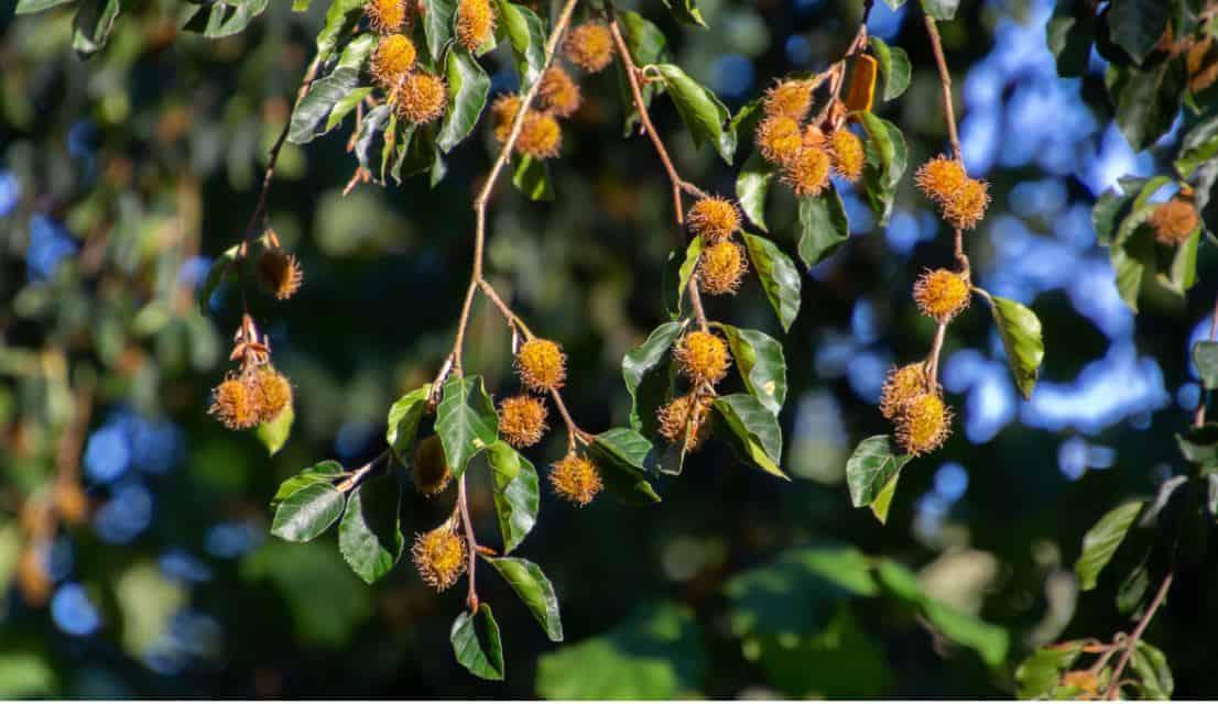 Do Beech Trees Produce Nuts Every Year