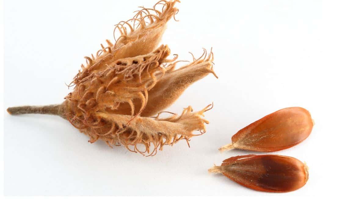 What Do Beech Nuts Taste Like