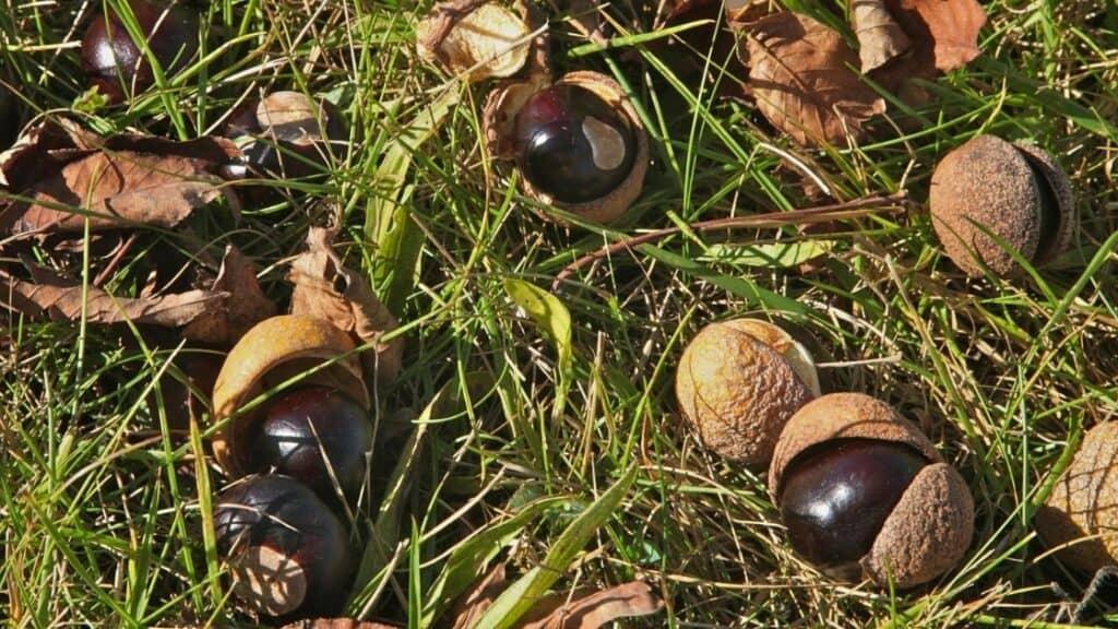Buckeye Nuts in History