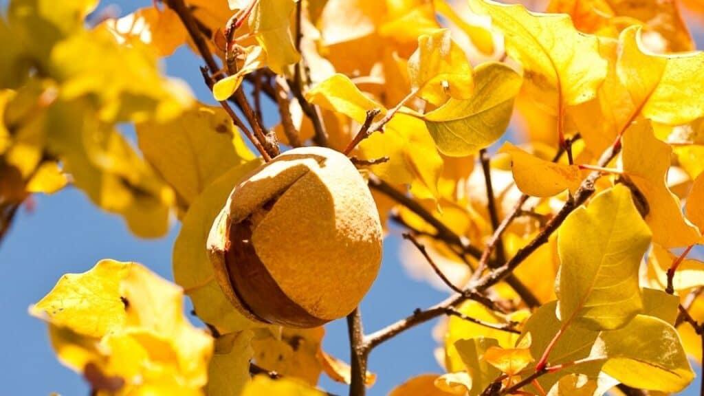 Can You Eat Buckeye Nuts