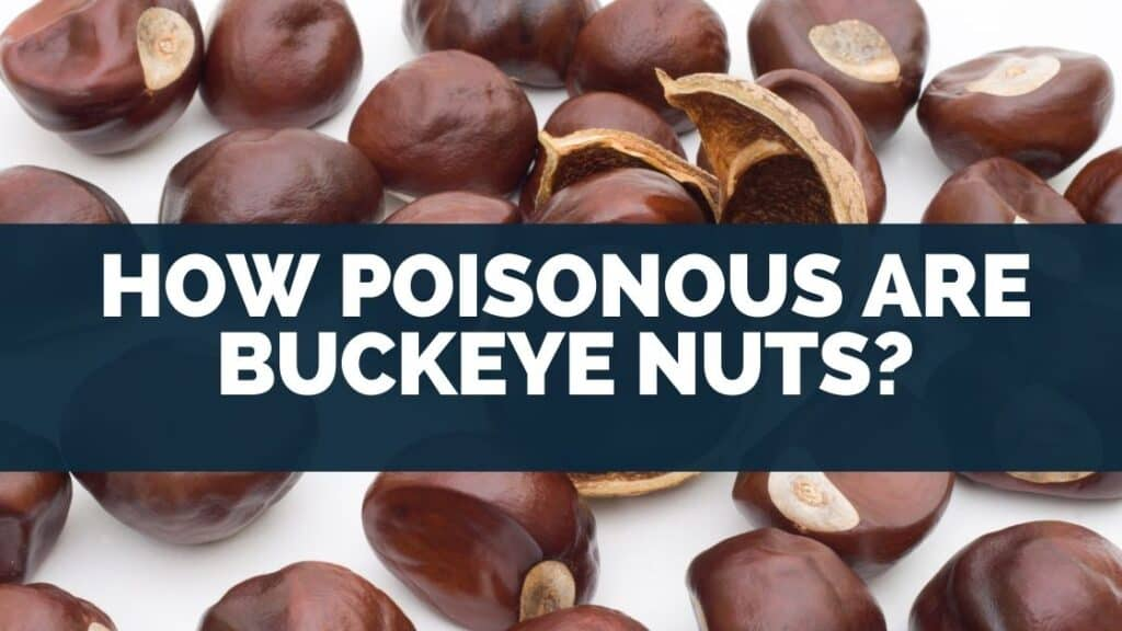 How Poisonous Are Buckeye Nuts