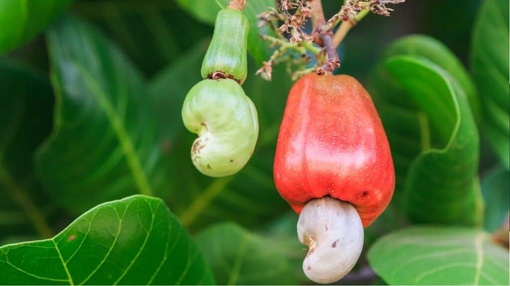 What Are the Disadvantages of Cashew Nuts