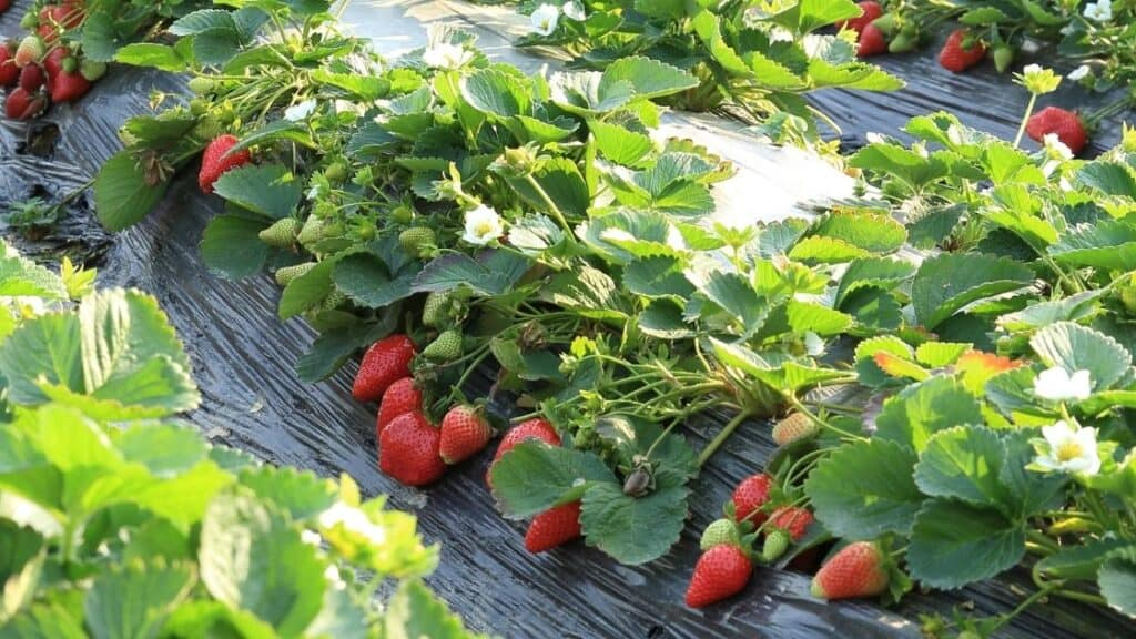 Are strawberries hard to grow