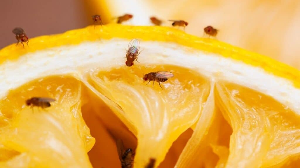 How Do I Get Rid of Fruit Flies in My Car