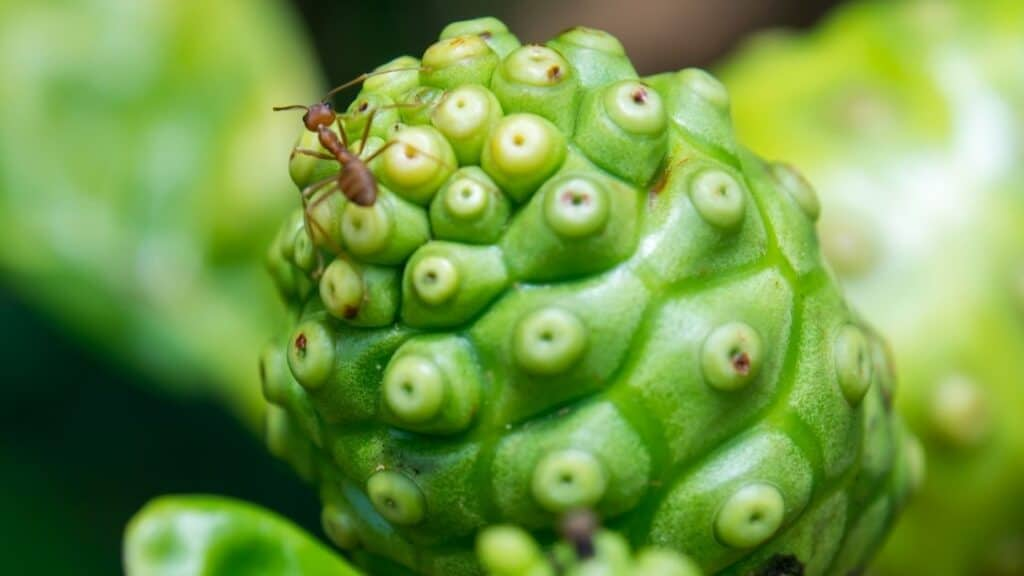 How long does it take for noni to fruit