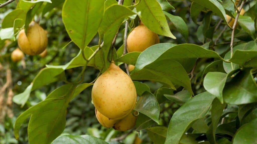 What is the edible part of nutmeg