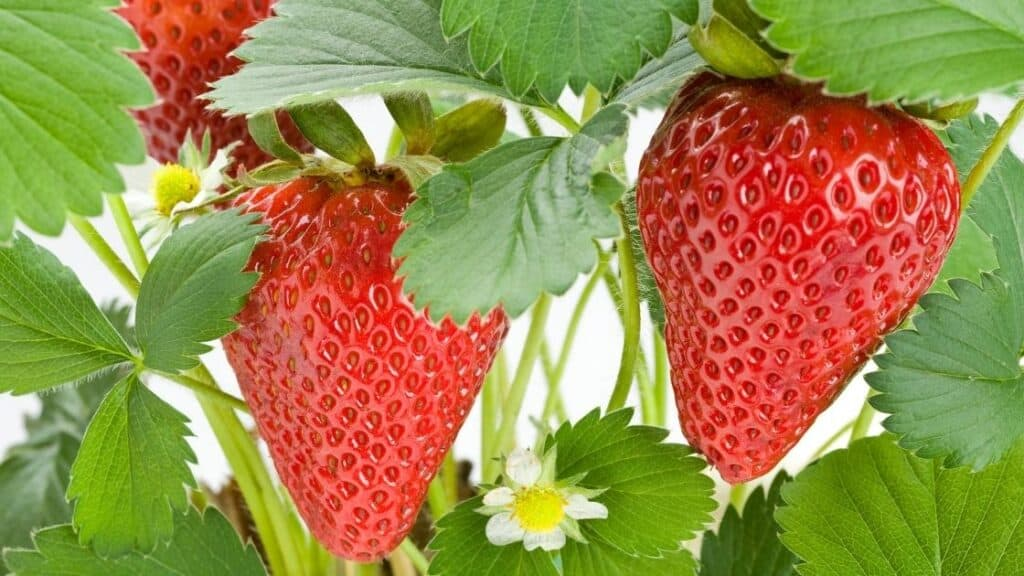What months are strawberries in season