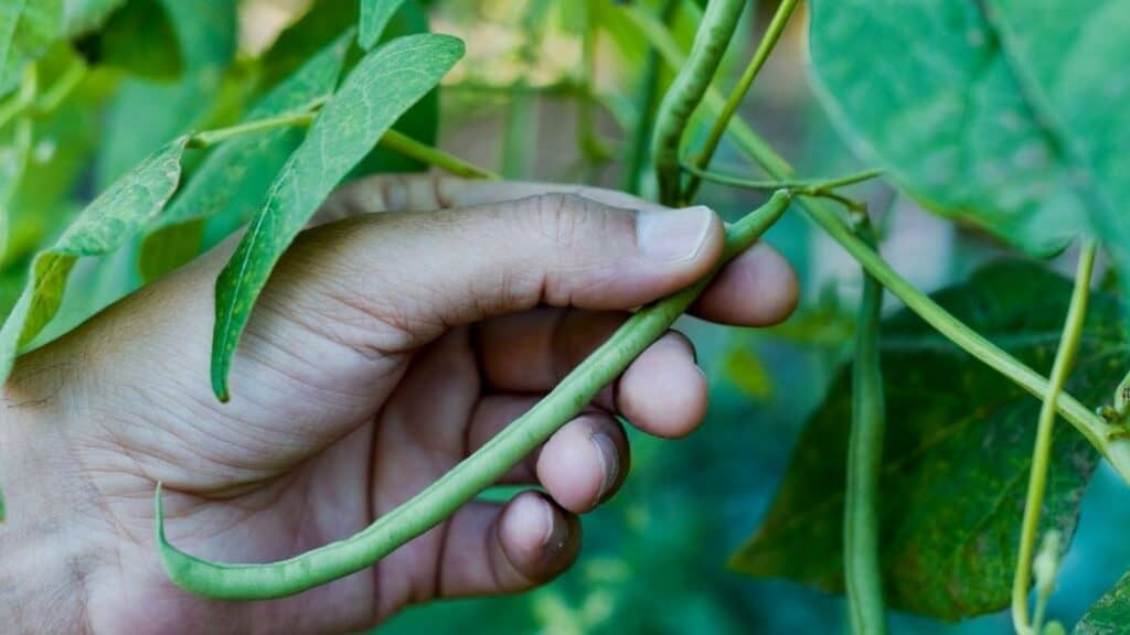 Where Do Legumes Come From