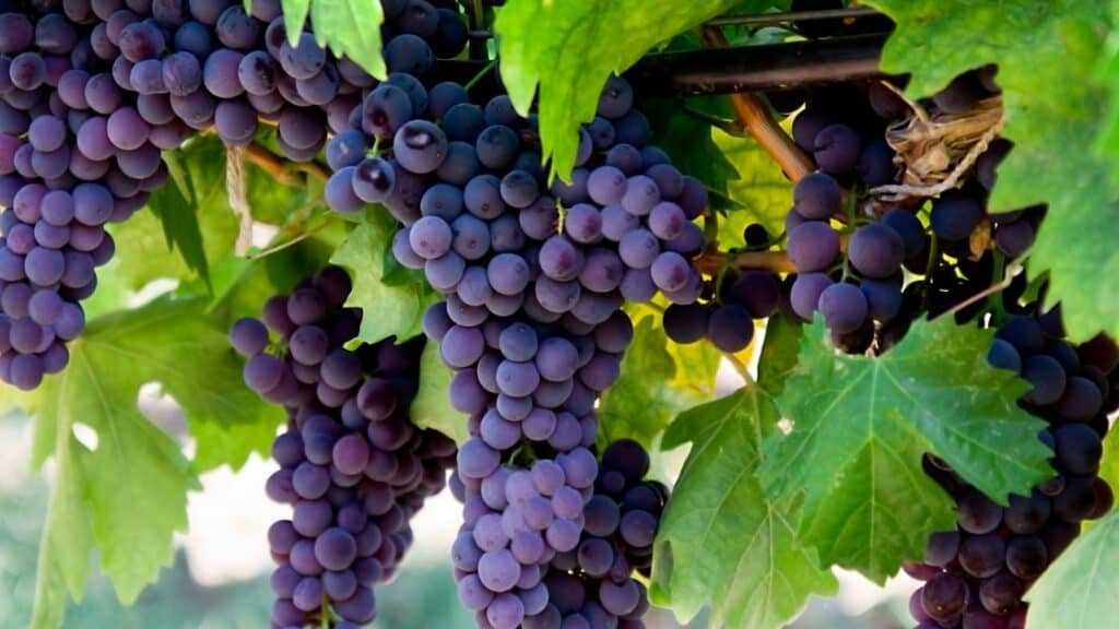 Are grapes with seeds healthier