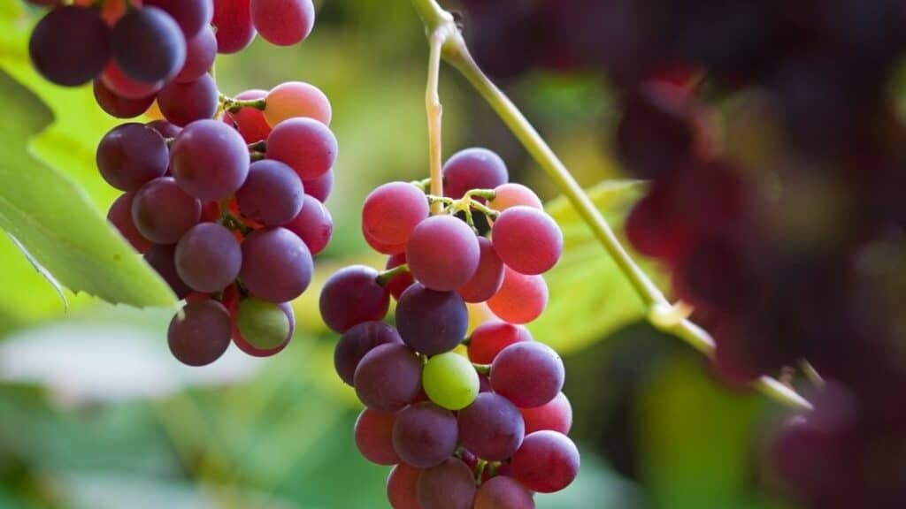 Which grapes are the healthiest