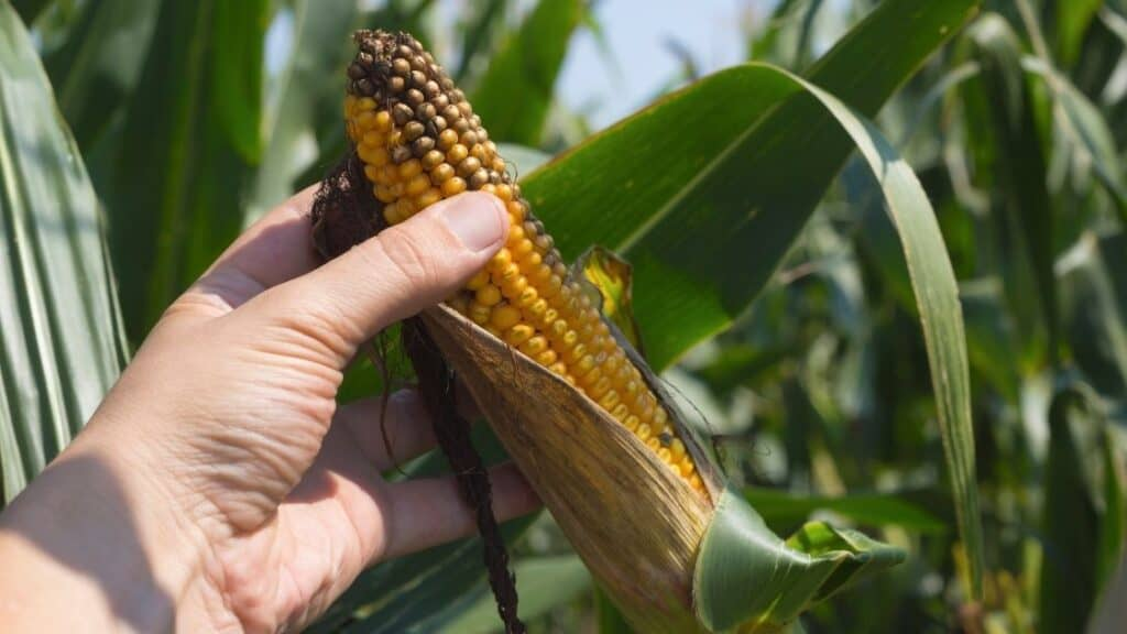 How Can You Tell if Corn Has Gone Bad