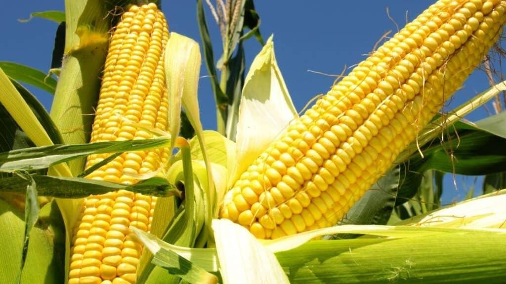 Is Corn Man Made