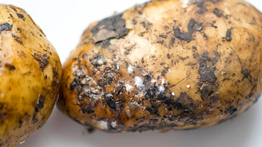 Rotten Potato Symptoms
