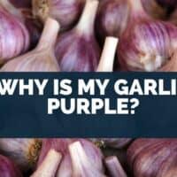 Why is my garlic purple